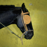 Black horse with blinkers on a yellow background